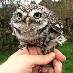 Gizmo the Little Owl