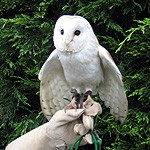 One of our Barn Owl Ring Bearers #1