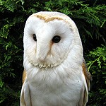 One of our Barn Owl Ring Bearers #2